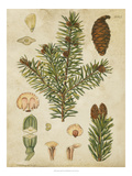 Vintage Conifers III Prints