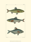 Freshwater Fish III Poster