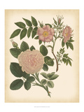 Antique Rose II Print