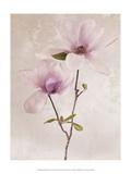 Tulip Blush II Posters by Christine Zalewski