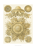 Sophisticated Sealife I Art by Ernst Haeckel