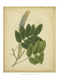 Engelmann Botanical III Poster by  Engelmann
