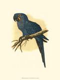 Hyacinthine Macaw Stampe