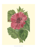 Chinese Rose Mallow Posters