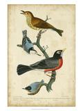 Wilson's Wood Thrush Prints by Alexander Wilson