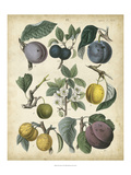 Calwer Plums Prints by  Calwer