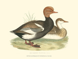 Red-Crested Whistling Duck Posters