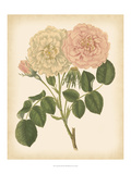 Antique Rose III Prints