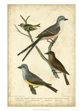 Wilson's Flycatcher Print by Alexander Wilson