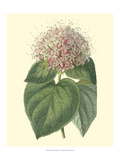 Fragrant Clerodendron Posters