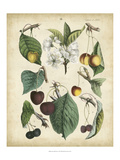 Calwer Wild Cherry Kunstdrucke von  Calwer