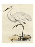 Antique Heron III Giclee Print