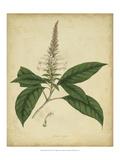 Engelmann Botanical II Kunstdrucke von  Engelmann