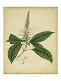 Engelmann Botanical II Prints by  Engelmann
