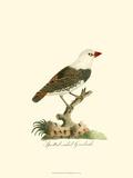 Spotted Grosbeak Print