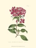 Mauve Beauty III Giclée-Premiumdruck von Samuel Curtis
