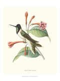Hummingbird and Bloom IV Prints by  Mulsant
