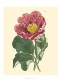 Blushing Peony I Giclee Print