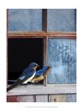 Barn Swallows Window Reproduction giclée Premium par Chris Vest
