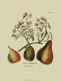 Antique Pears Print