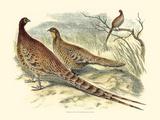 Pheasant Varieties VI Art