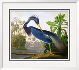 "Louisiana Heron from ""Birds of America"" Framed Giclee Print by John James Audubon"