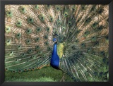 Male Peacock (Paro Cristatus) Framed Photographic Print by Peggy Koyle