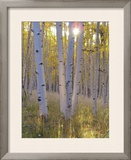 American Aspen Trees in Autumn Color Framed Photographic Print by  Greg