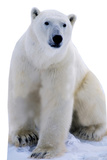 Polar Bear PAPPFIGUREN IN LEBENSGRÖSSE