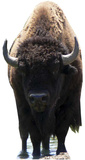 Bison Buffalo Stand Up