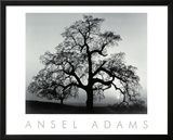 Oak Tree, Sunset City, California, 1932 Posters by Ansel Adams