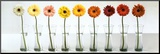 Gerbera Spectrum Mounted Print