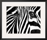 Black & White II (Zebra) Poster by Rocco Sette