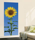Sunflower Wallpaper Mural