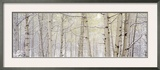 Autumn Aspens with Snow, Colorado, USA Framed Photographic Print by  Panoramic Images