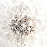 Dandelion&#39;s Heartbeat I Prints by Sarah Deluca
