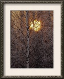Frost-Covered White Birch Trees with the Sun Rising Behind Framed Photographic Print by Raymond Gehman