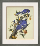 Blue Jay Framed Giclee Print by John James Audubon