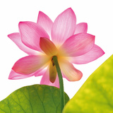 Rosy Lotus Flower Posters