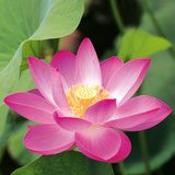 Pink Lotus Flower Prints