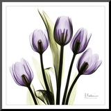 Tulip in Purple Mounted Print by Albert Koetsier