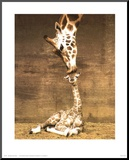 Giraffe, First Kiss Mounted Print by Ron D'Raine