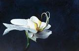 Phalaenopsis Blanc Posters by Jocelyne Maucotel