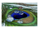 Peacock Feather Drops Lámina giclée de primera calidad por Connie Publicover