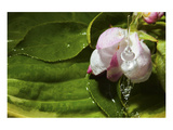 Connie Publicover - Apple Blossom Drop Speciální digitálně vytištěná reprodukce