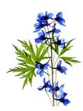 Blue Delphinium Giclee-tryk i høj kvalitet af Judy Stalus