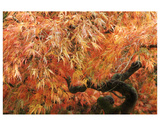 Acer II, Golden Maple Premium Giclee Print by Chris Farrow