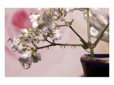 Connie Publicover - Dew Drop Roses Speciální digitálně vytištěná reprodukce