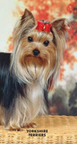 Yorkshire Terriers - 2013 Two Year Pocket Planner Calendars