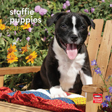 Staffordshire Bull Terrier Puppies - 2013 Mini Calendar Calendars